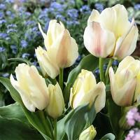 Тюльпан Альбион Стар многоцветковый (5 шт.)