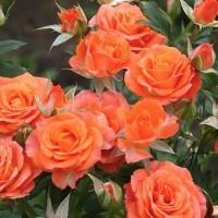 Патио и спрей розы