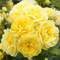 Шраб розы