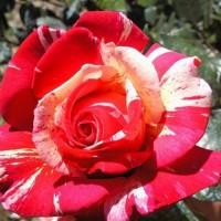 Роза чайно-гибридная Хаим Сатин