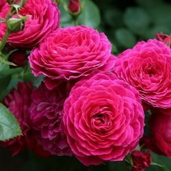 Роза флорибунда ДомейндеСт