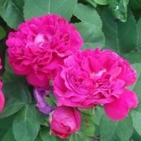 Роза почвопокровная Фейри Чейнгелинг