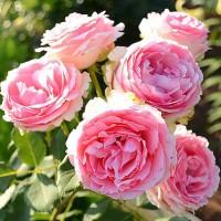 Роза шраб Фёрст леди