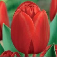 Тюльпан Голландия Триумф