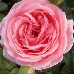 Роза флорибунда Кимоно