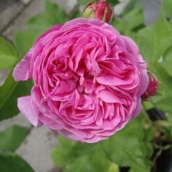 Роза парково-кустовая Луис Одьер