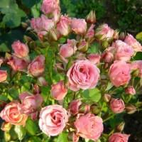 Патио и спрей розы (ОКС)