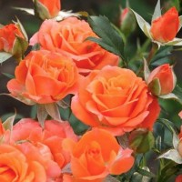 Роза миниатюрная Оранж Бэби