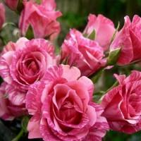Роза патио и спрей Пинк Флеш