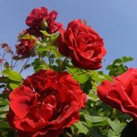 Роза парково-кустовая Принц