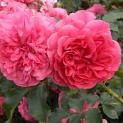 Роза плетистая Розариум Ютерсен