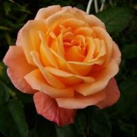 Роза флорибунда Розмари Харкнесс