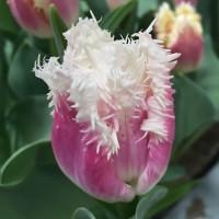 Тюльпан Сиеста бахромчатый