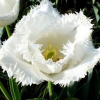 Тюльпан Сигначер бахромчатый