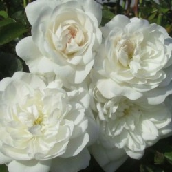 Роза почвопокровная Сноу Балет