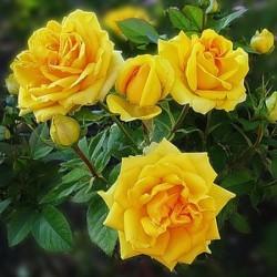 Роза патио Саммер