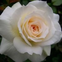 Роза английская Чайковский