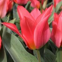 Тюльпан Торонто многоцветковый (5 шт.)