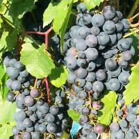 Виноград Мариновский