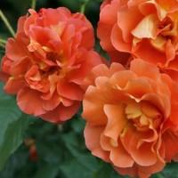 Роза шраб Вестерланд