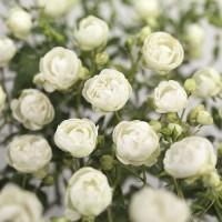 Роза миниатюрная ВайтМорсдаг