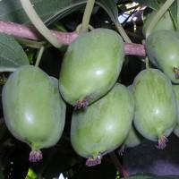 Актинидия коломикта Крупноплодная (женский)