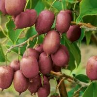 Актинидия аргута Пурпурная садовая