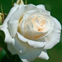 Роза чайно-гибридная Алиса