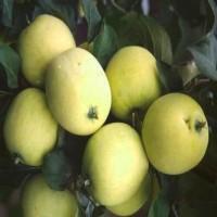 Яблоня Алтайское янтарное