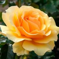 Роза флорибунда Амбер Куин