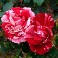 Роза флорибунда Анри Матисс