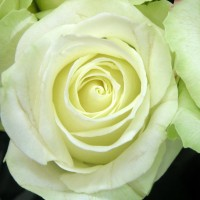 Роза чайно-гибридная Аваланж