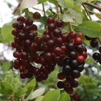 Черемуха Гранатовая гроздь