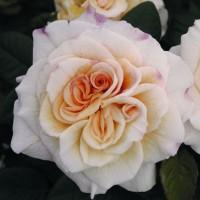 Роза чайно-гибридная Комтесса