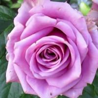 Роза чайно-гибридная Кул Ватер