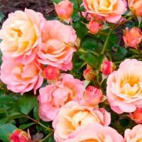 Роза шраб Кубана