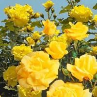 Роза плетистая Дин