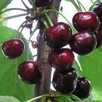 Гибрид вишни и черешни Кормилица (Дюк)