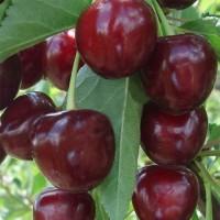 Гибрид вишни и черешни Ночка (ДЮК)