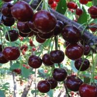 ДЮК (вишнево-черешневый гибрид)