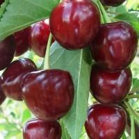 Гибрид вишни и черешни Добрыня
