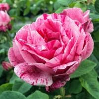Парково-кустовые розы