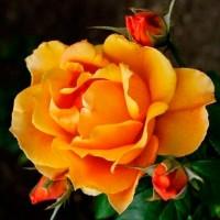 Роза чайно-гибридная Габи Морли