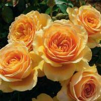 Розы Грандифлора (ОКС)