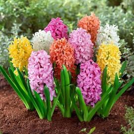 Гиацинты садовые (луковицы)