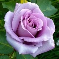 Роза чайно-гибридная Голубая луна
