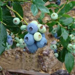 Голубика садовая Блюэтта