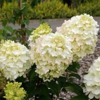 Гортензия метельчатая Коттон Крем (Cotton Cream)
