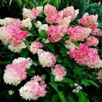 Гортензия метельчатая Строберри Блоссом (Strawberry Blossom)