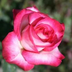 Роза чайно-гибридная Хайлендер